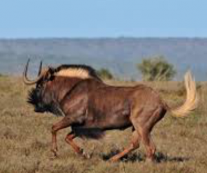 Wildebeest - Black - Permit